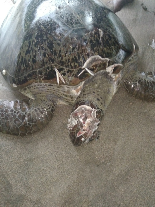 Tortue, braconnage, Mayotte
