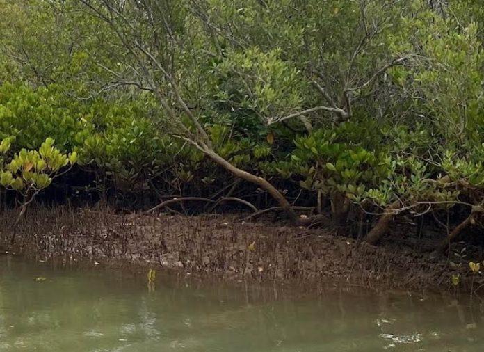 Mangrove, CUFR, Mayotte